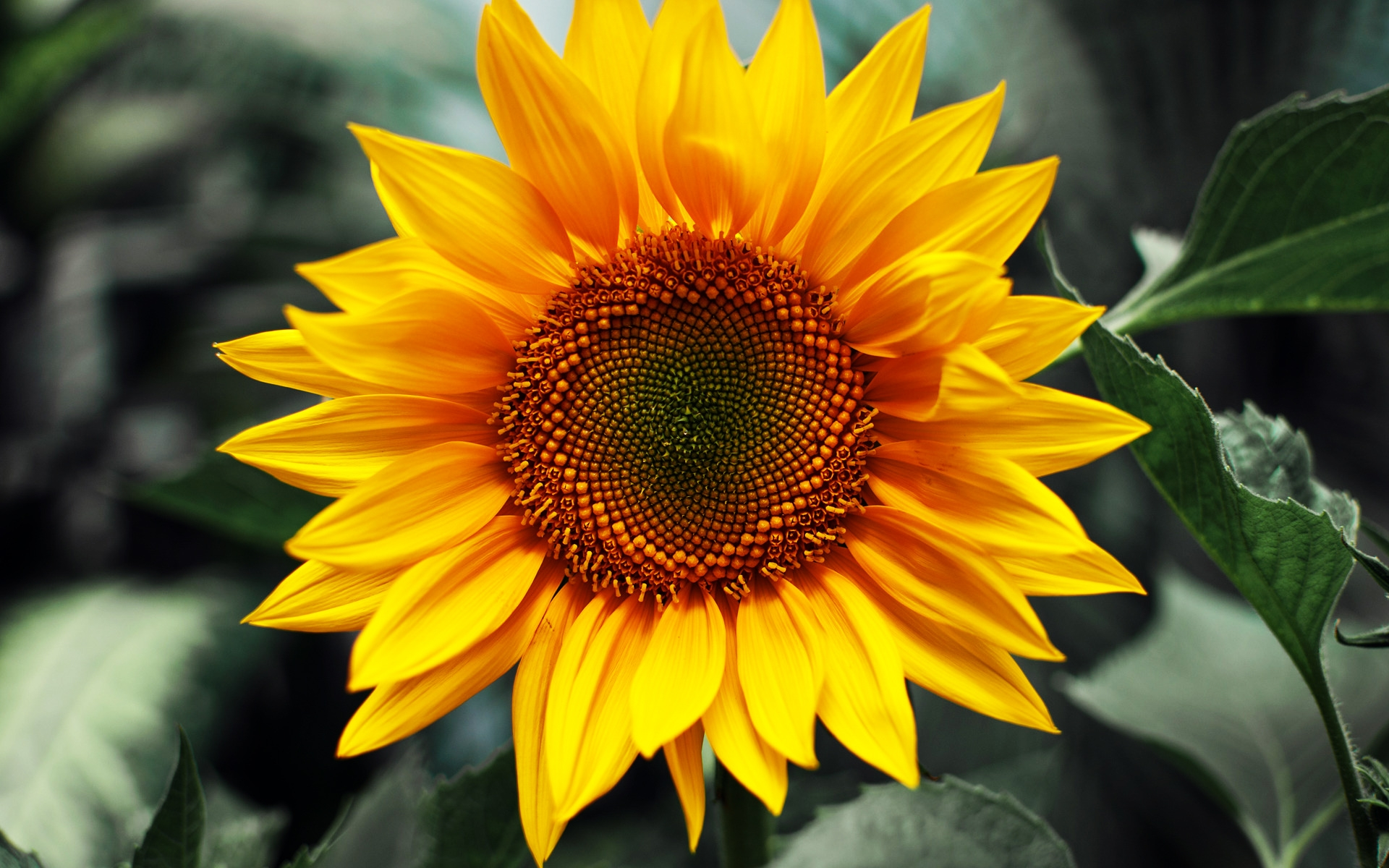 sunflower health beneficial